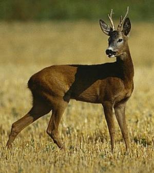Cåpriorul (Capreolus capreolus)/Rådjuret/The European Roe Deer