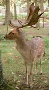 Cerbul lopatar(Dama dama)/Dovhjorten/The Fallow deer