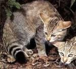 Pisica sălbatică (Felis sylvestris)/Vildkatten/Wildcat