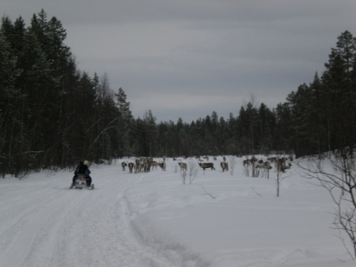 Andrea B., Paula, Gunnar and Fredrik driving snowmobile between reindeers