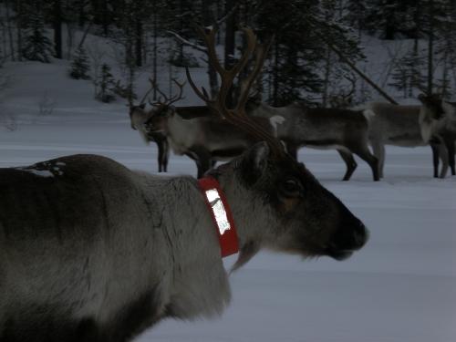 Reindeers in Skellefteå, Sweden